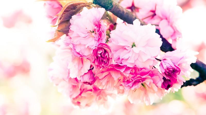 Cherry Blossom, closeup